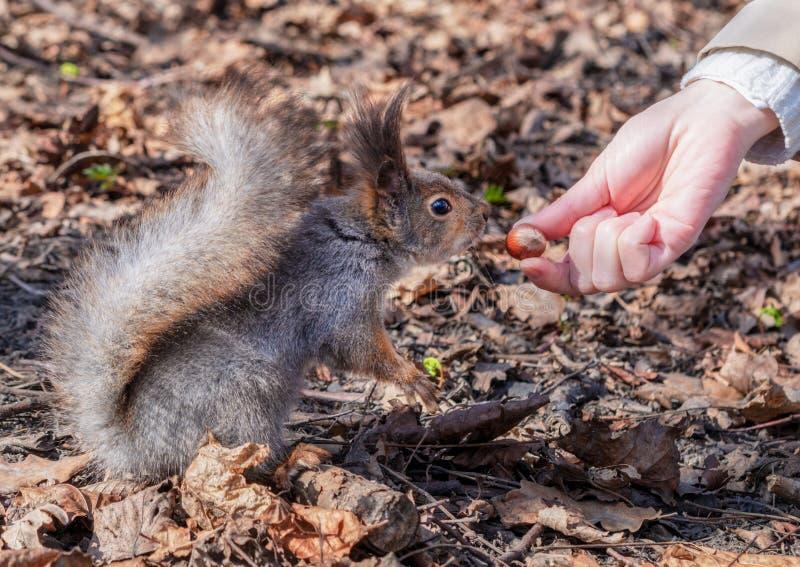 Eekhoorn in het de herfst bospark royalty-vrije stock foto