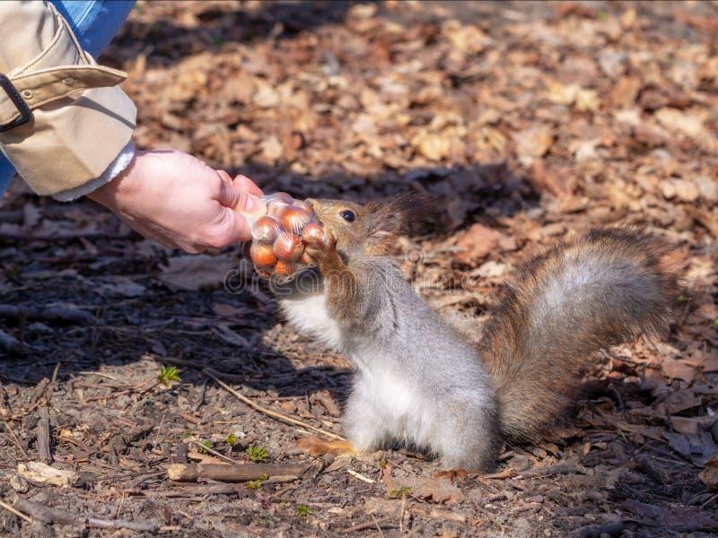 Eekhoorn in het de herfst bospark royalty-vrije stock foto's