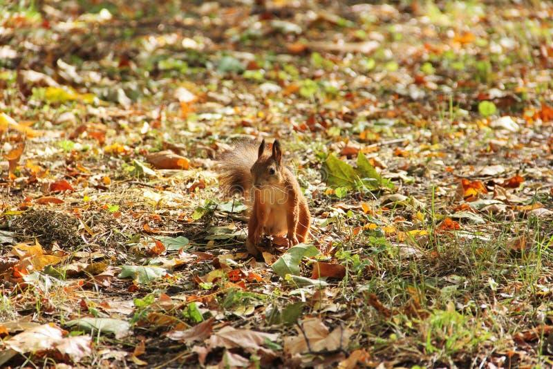 Eekhoorn in het de herfstpark stock afbeelding