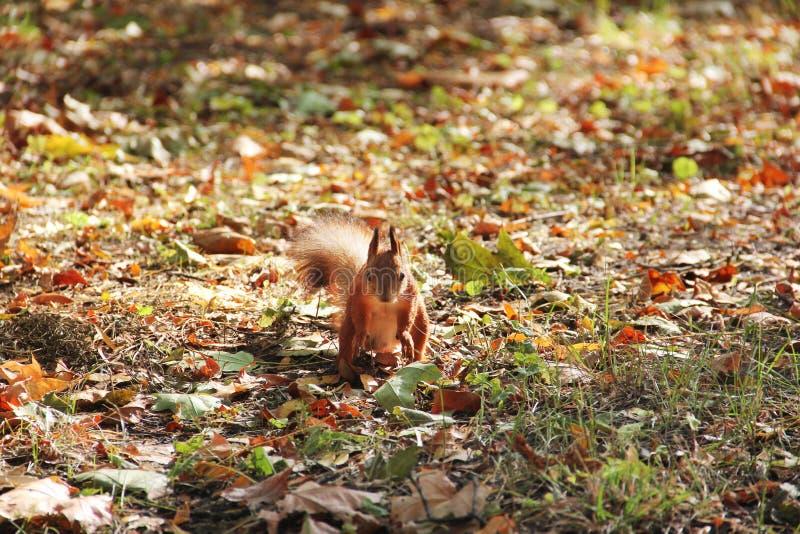 Eekhoorn in het de herfstpark royalty-vrije stock foto's