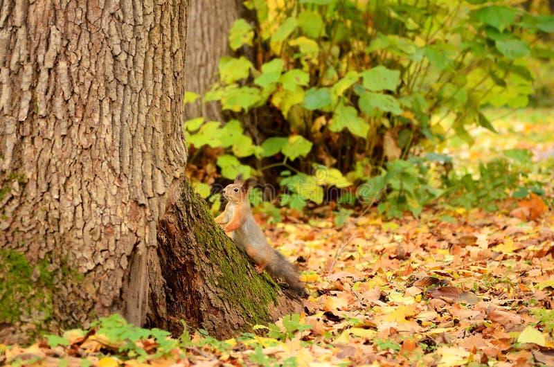 Eekhoorn in het de herfstpark royalty-vrije stock afbeelding