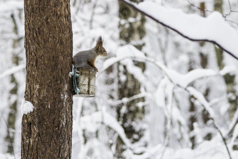 Eekhoorn in het de winterbos in een vogelvoeder op de boom stock foto