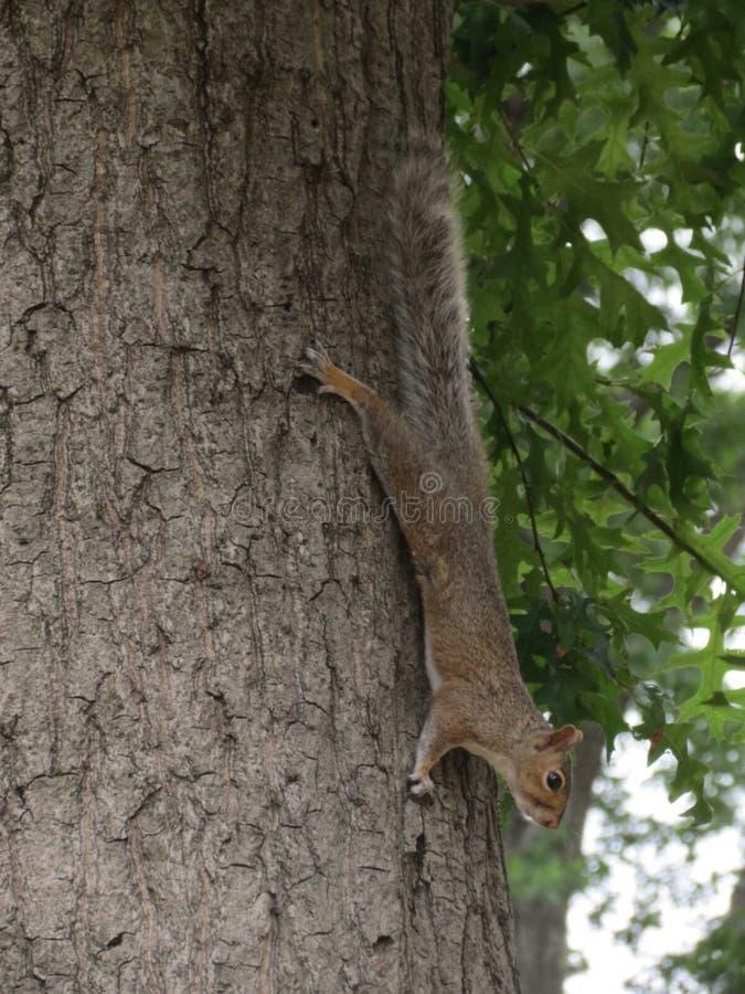Eekhoorn het hangen op een boom stock foto's