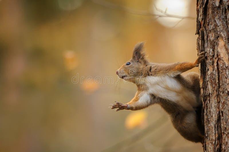 Eekhoorn het overweldigde bereiken links terwijl het houden van de boomstam stock fotografie