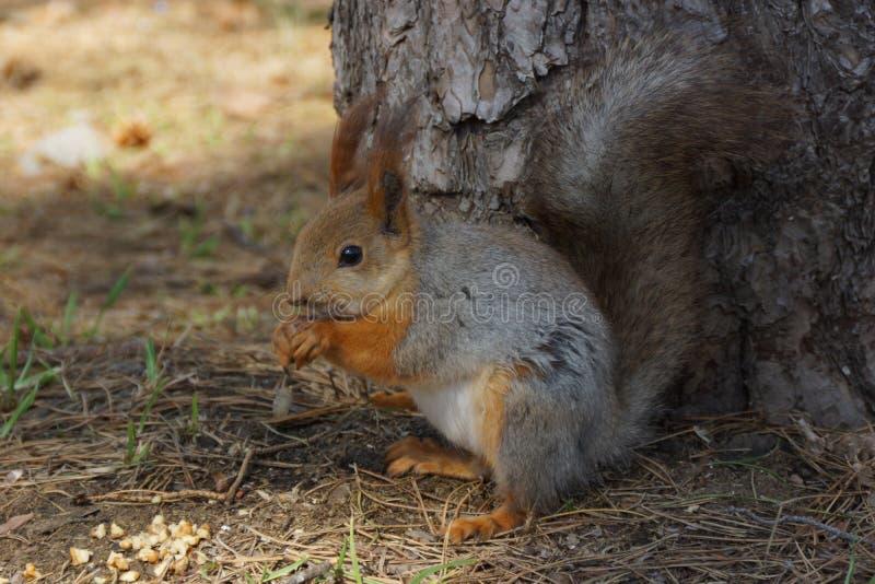 Eekhoorn in het park royalty-vrije stock foto's