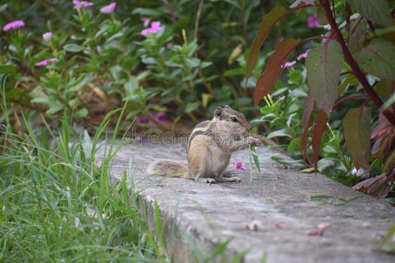 Eekhoorn in het park stock afbeelding