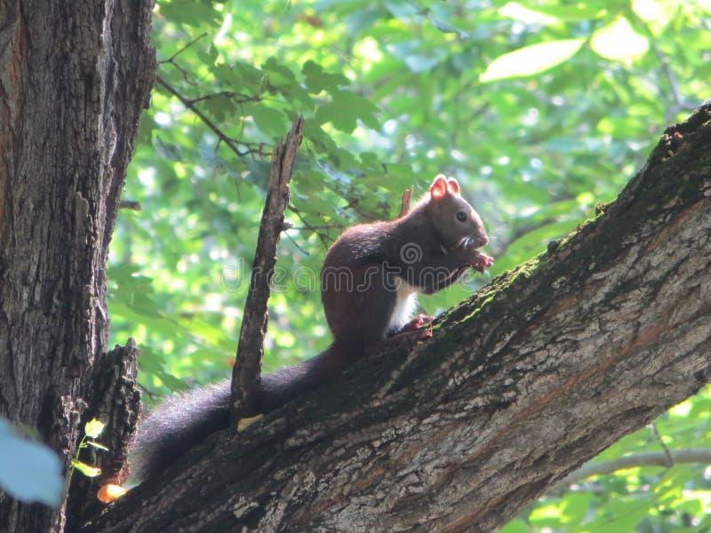 Eekhoorn in het park stock fotografie