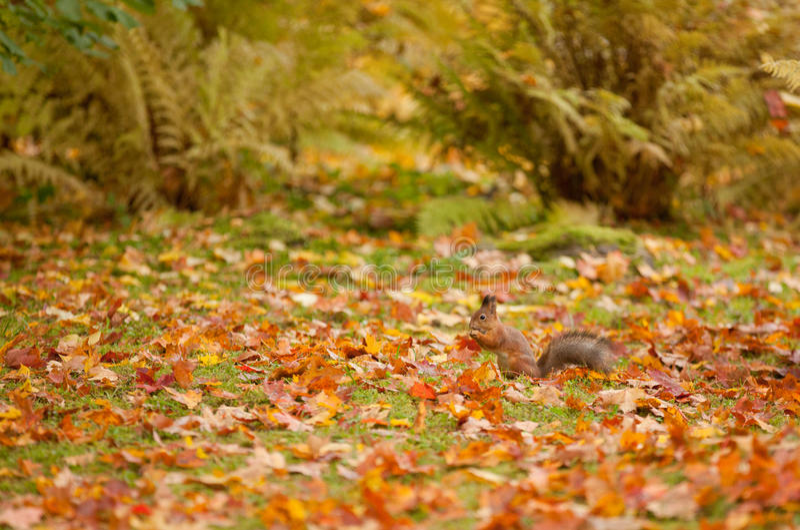 Eekhoorn in het park royalty-vrije stock afbeelding