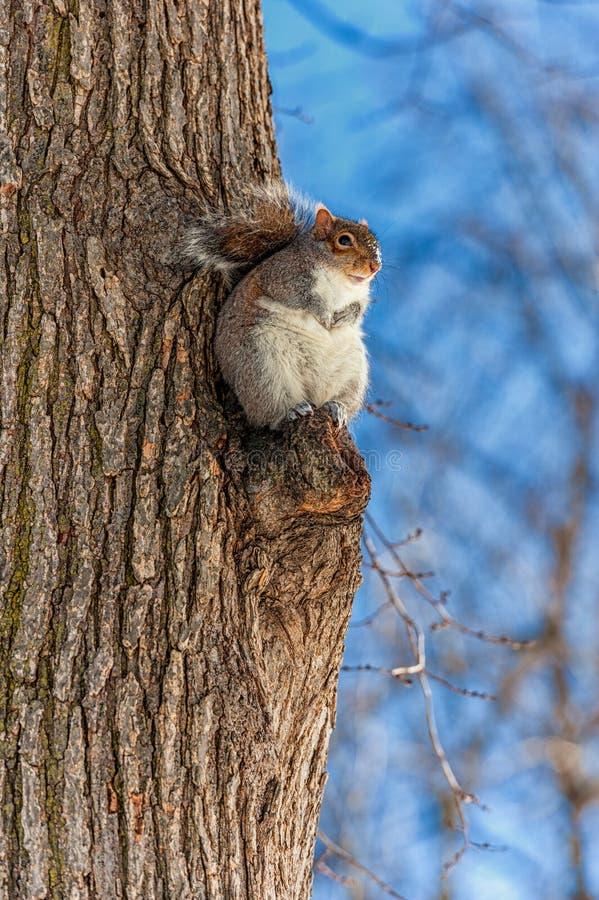 Eekhoorn in het park Boston Koude de winterdag stock fotografie