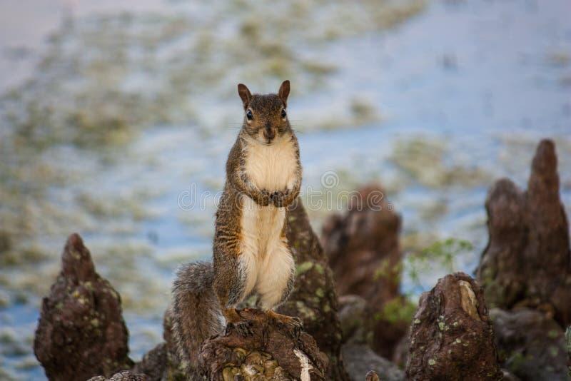 Eekhoorn het stellen door een meer stock fotografie