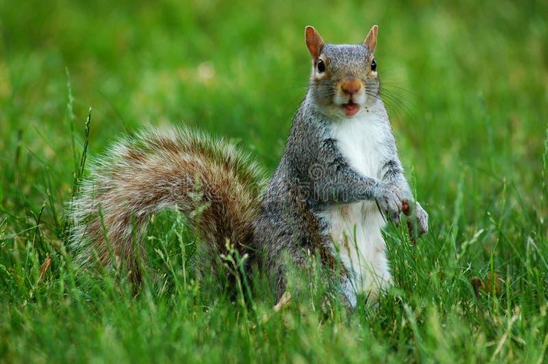 eekhoorn met grappig gezicht stock afbeelding