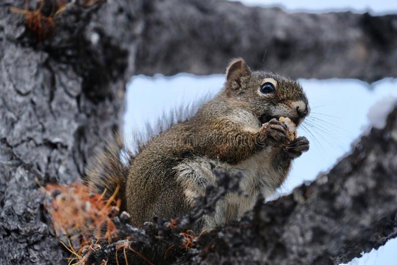 Eekhoorn met Noot Grappige dierlijke eekhoorn die noot op de brunch van de lariksboom eten royalty-vrije stock afbeelding