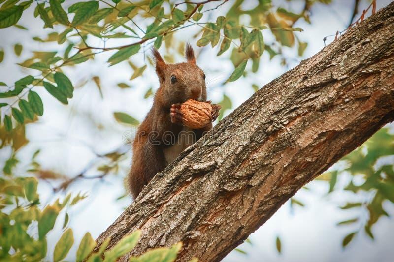 Eekhoorn met okkernoot stock fotografie
