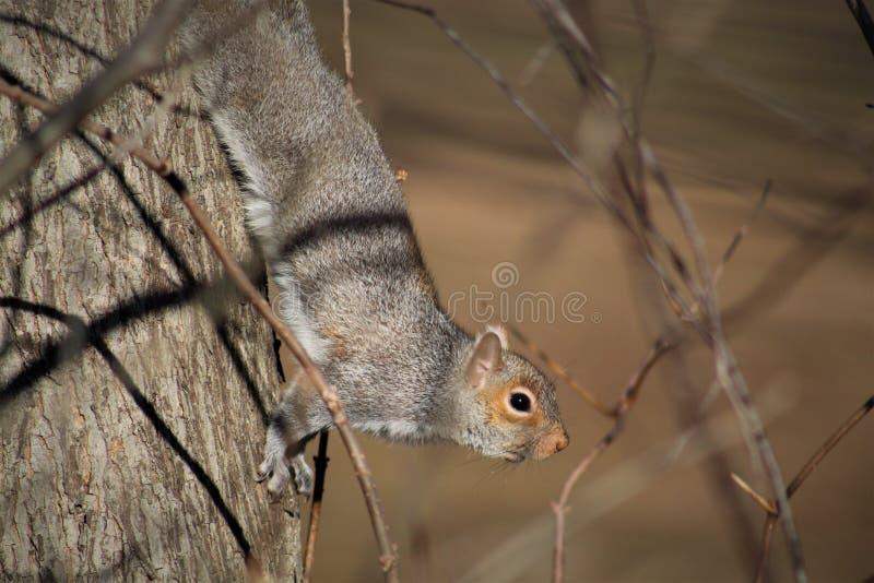 Download Eekhoorn op boom stock afbeelding. Afbeelding bestaande uit close - 107701397