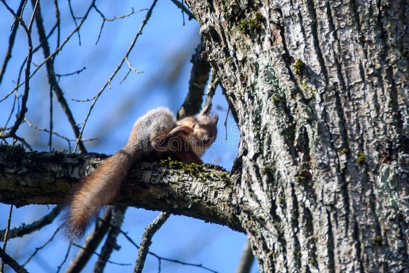 Eekhoorn op boom royalty-vrije stock foto's
