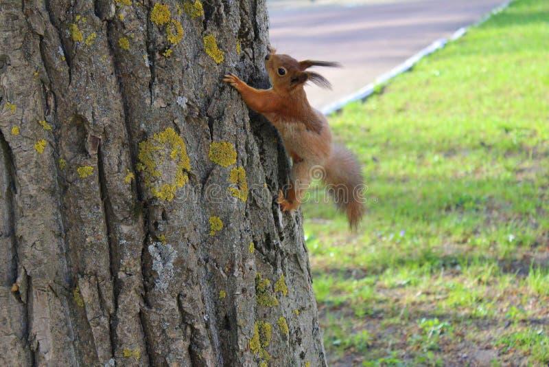 Eekhoorn op de gesprongen boom stock foto