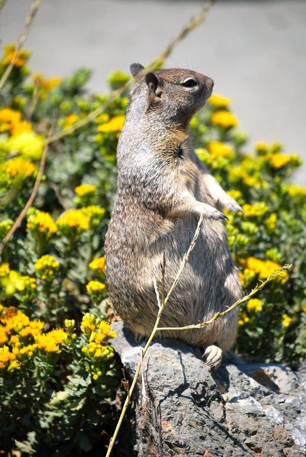 Eekhoorn op de steen stock foto's