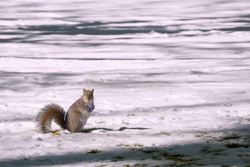 Eekhoorn op een Sneeuwgebied stock afbeelding