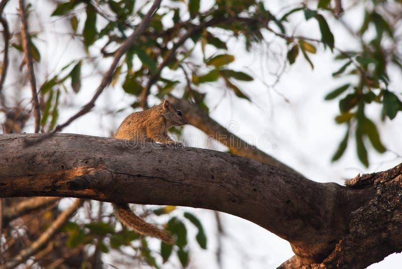Eekhoorn op een tak royalty-vrije stock foto
