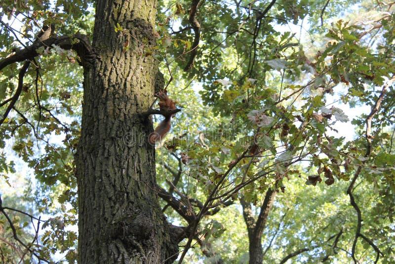 Eekhoorn op een tak stock afbeelding