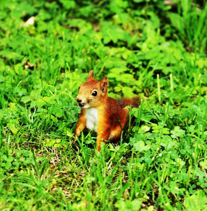 Eekhoorn op het gras stock fotografie