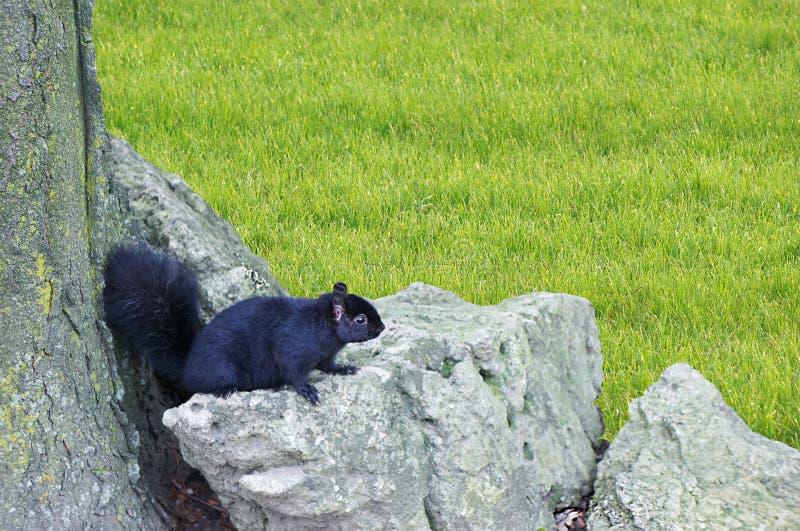 Eekhoorn op rotsen stock foto's