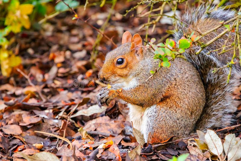 Eekhoorn in Regent's Park van Londen stock foto's