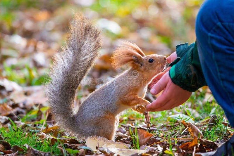 Eekhoorn of van Sciurus vulgaris het eten noten van hand en de herfstbladeren op achtergrond wild thematisch aarddier stock afbeelding