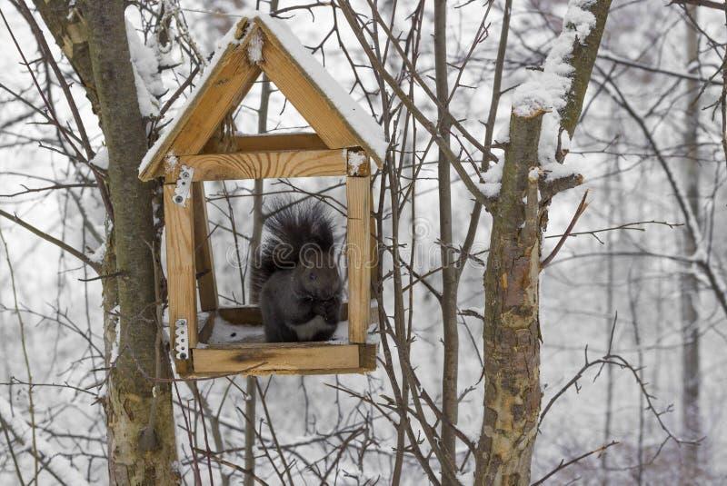 Eekhoorn in voedertrog stock foto