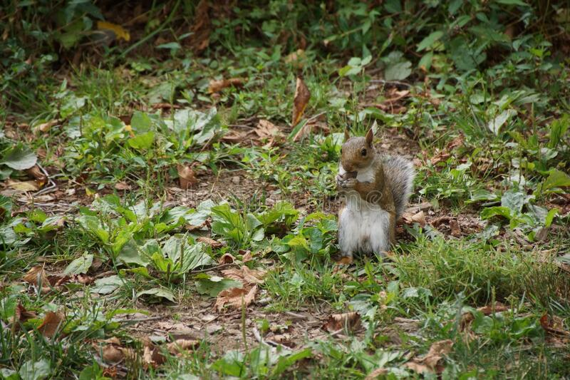 Eekhoorn voor het centrale park royalty-vrije stock afbeeldingen