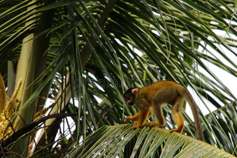 Eekhoornapen in het Nationale Park van Madidi royalty-vrije stock foto