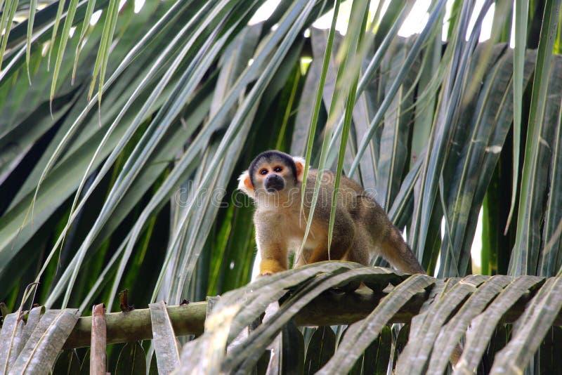 Eekhoornapen in het Nationale Park van Madidi stock foto