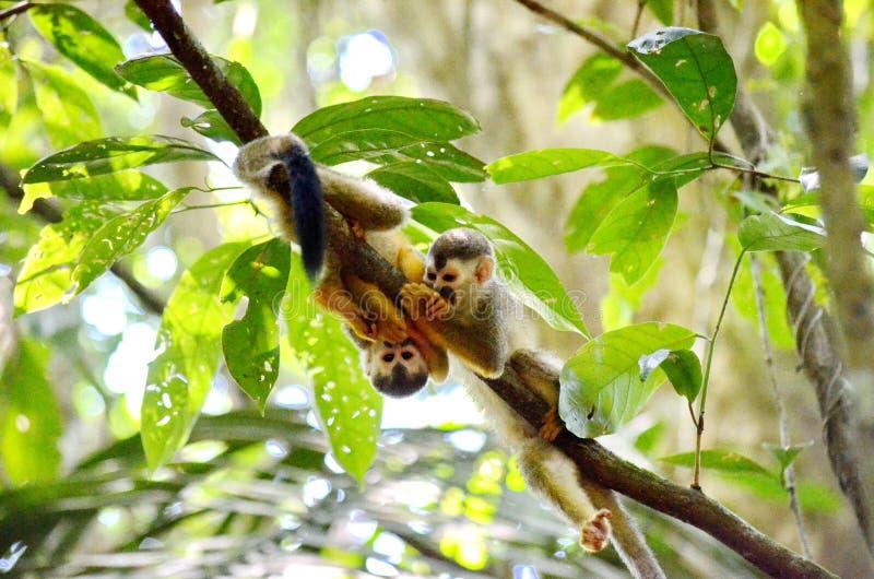 Eekhoornapen in het regenwoud stock fotografie