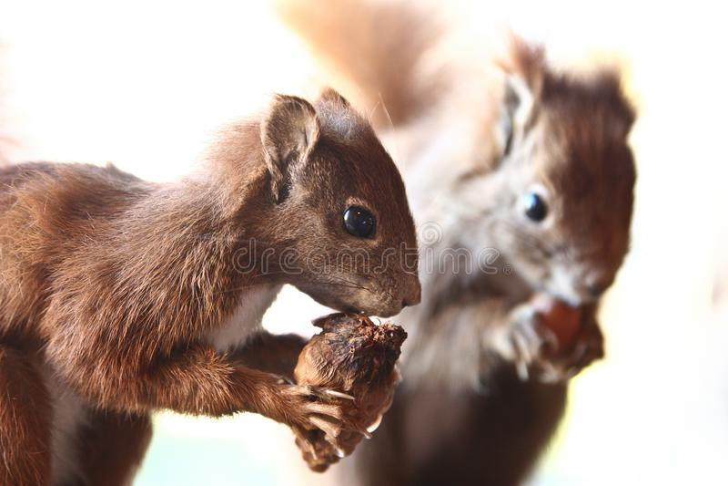 eekhoorns stock foto's