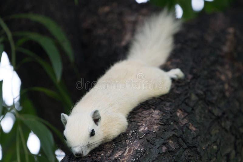 eekhoorns stock fotografie