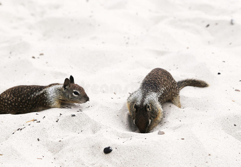 eekhoorns stock afbeelding