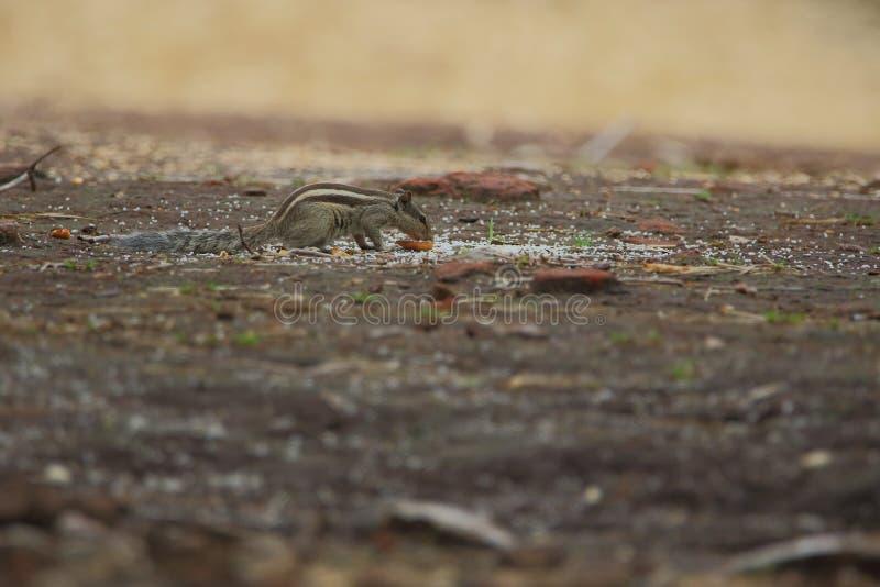 Eekhoorns in bos stock afbeelding