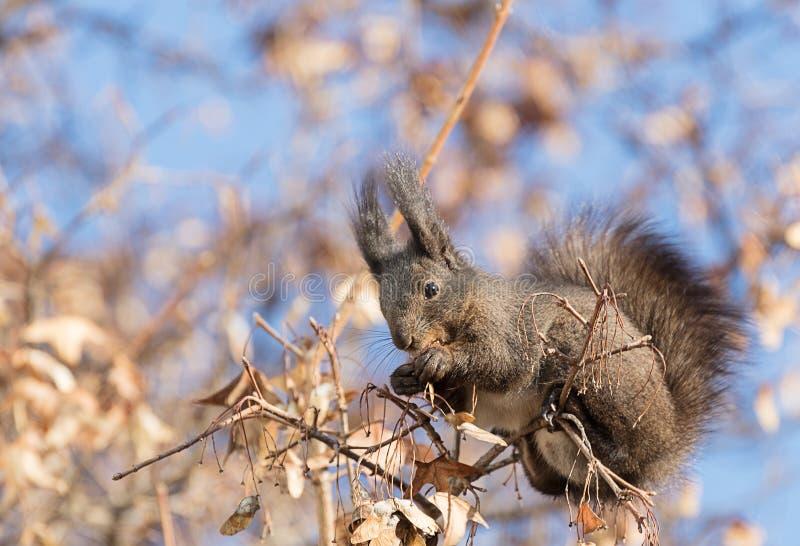 Eekhoorns die in bomen voederen stock afbeelding