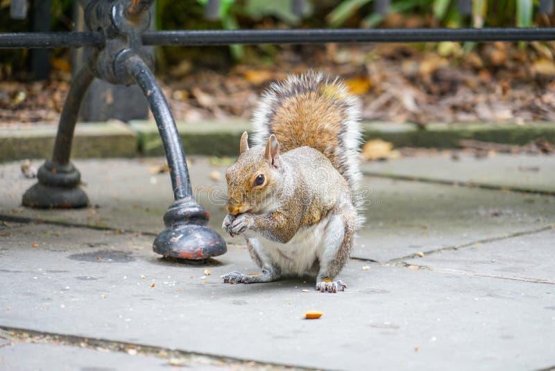 Eekhoorns die eikels eten stock foto's