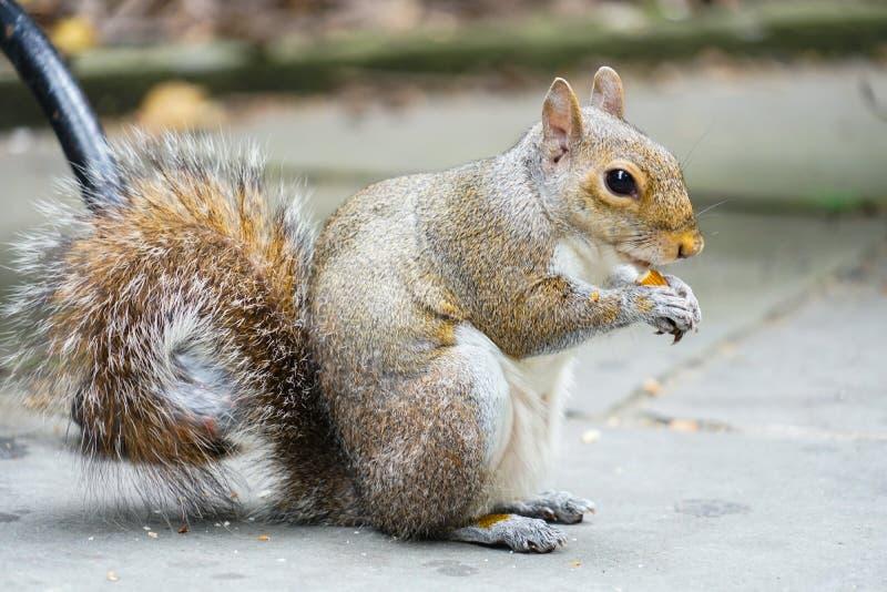 Eekhoorns die eikels eten stock fotografie