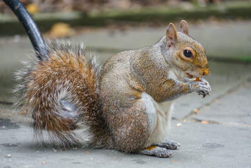 Eekhoorns die eikels eten royalty-vrije stock afbeelding