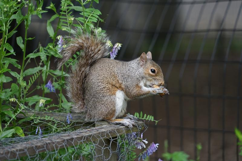 Eekhoorns die eikels eten stock afbeelding