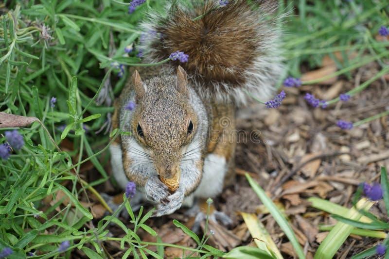 Eekhoorns die eikels eten stock foto