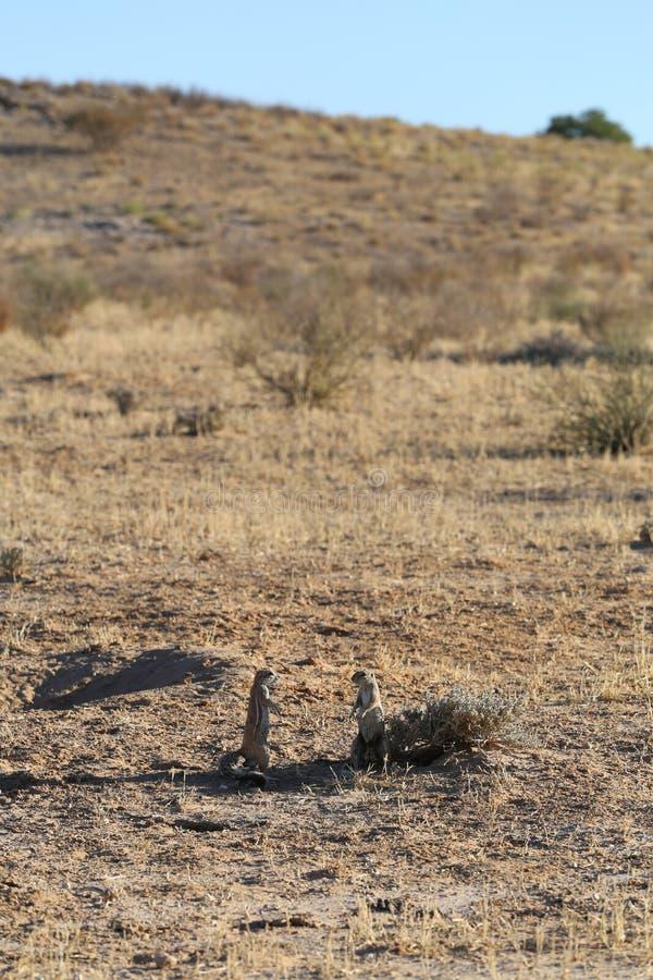 Eekhoorns in kgalagadi grensoverschrijdend park, Zuid-Afrika royalty-vrije stock foto's