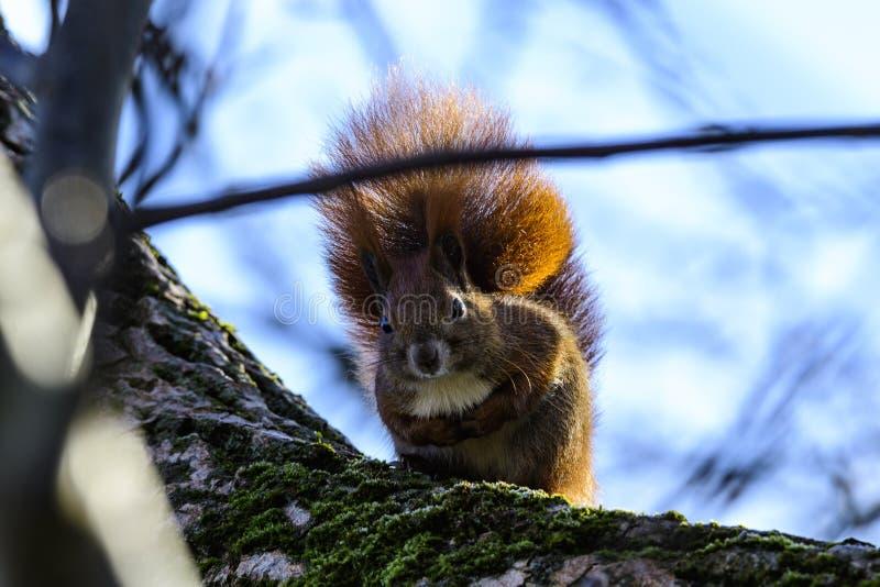 Eekhoorns op een tak stock foto's