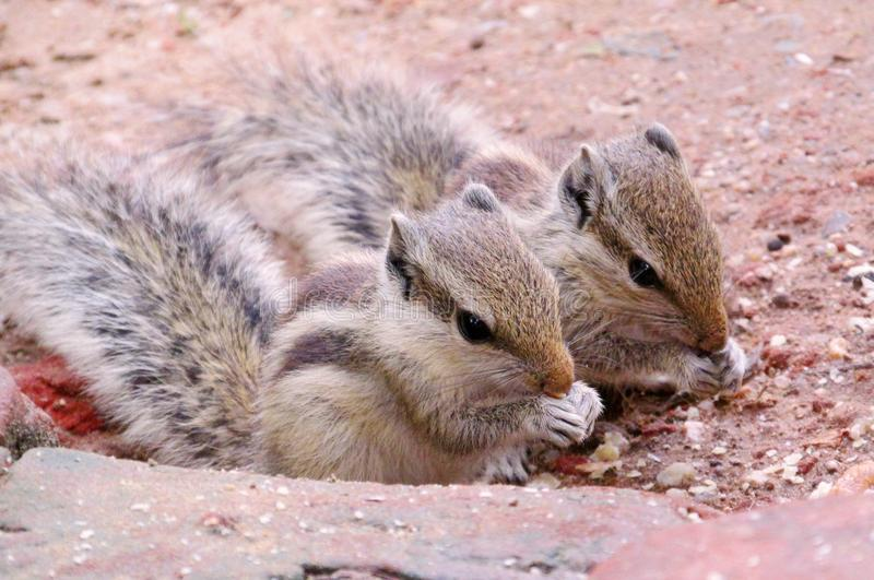 Eekhoorns, tweelingen, royalty-vrije stock afbeelding