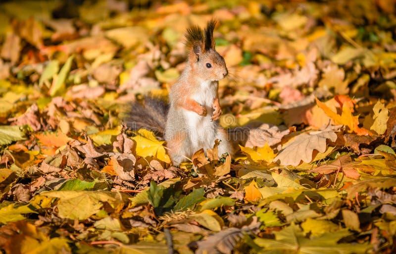 Eekhoornzitting in het de herfstpark stock fotografie