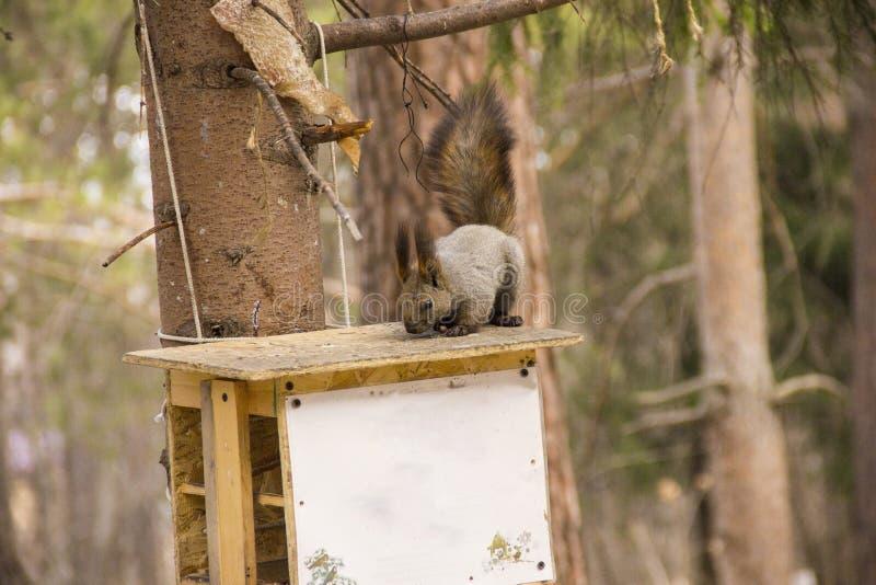 Eekhoornzitting op een pijnboomtak royalty-vrije stock afbeeldingen