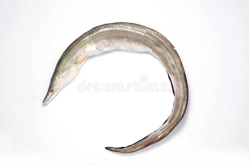 Eel royalty free stock photos