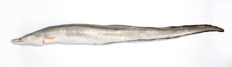 eel стоковые изображения rf
